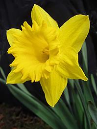 Yellow-daffodil