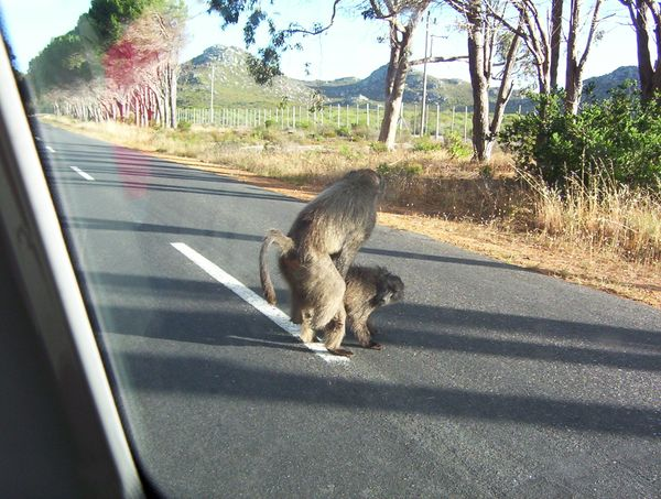 Baboons mating