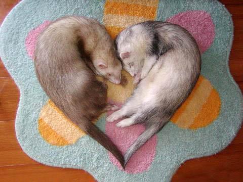 Ferret-Heart