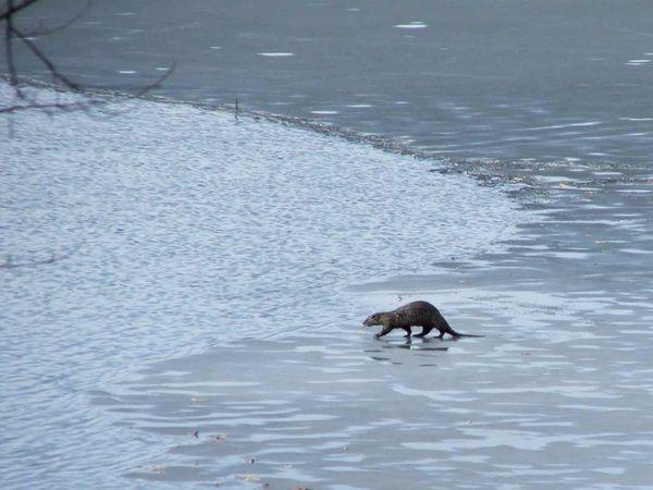 Otter walk