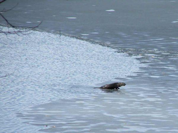 Otter climb