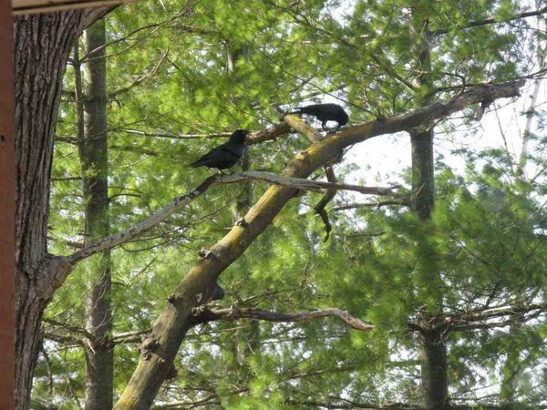 Crow 2b