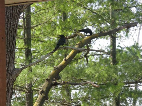 Crow 2d
