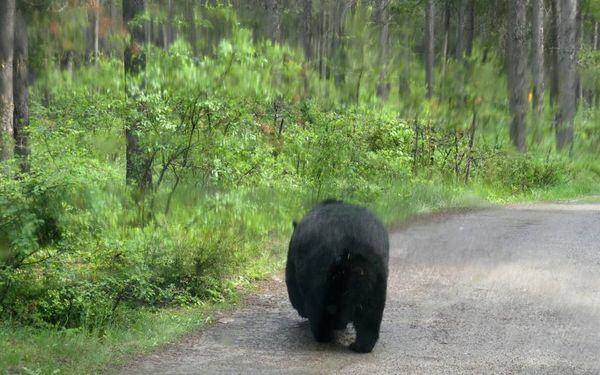Bear bye