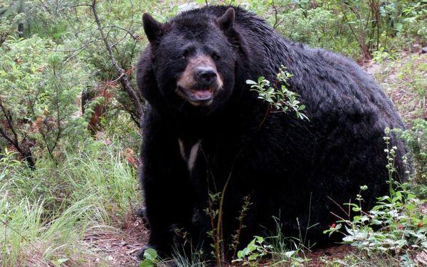 Bear fierce