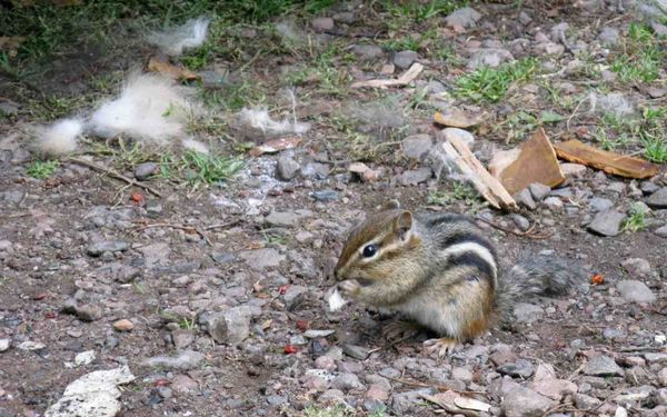Chipmunk sit
