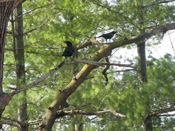Crow 2a