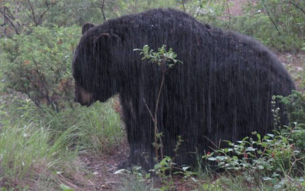 Bear rain 2