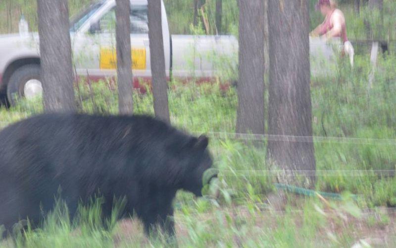 Bear pickup