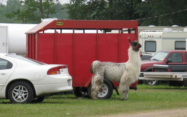 Fair llama close