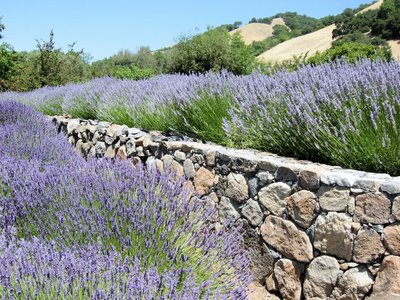 10 lavender