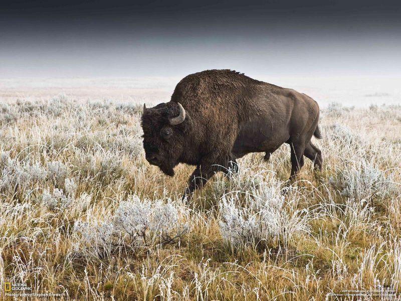 Natl Geog bison