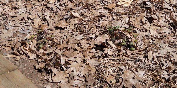 Blog geraniums