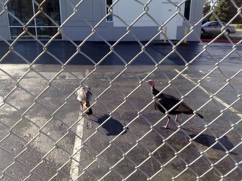 Wild turkey link