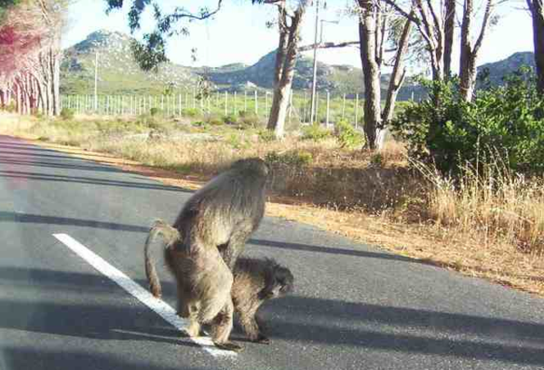 NOT road kill. Baboons run wild in Table Mountain National Park.