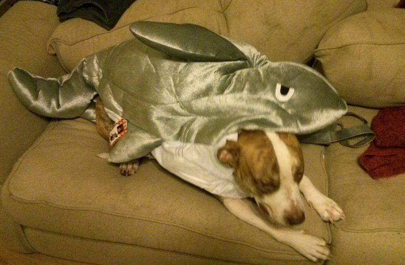 Percy in shark suit