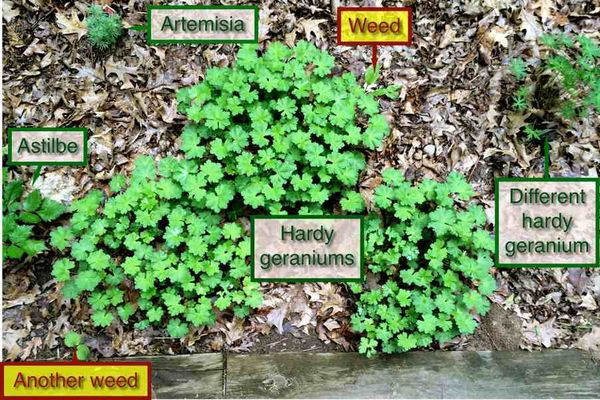 Geraniums. And weeds