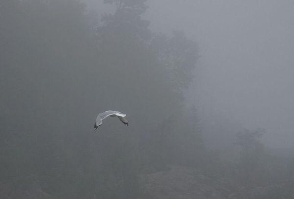 Gull in fog