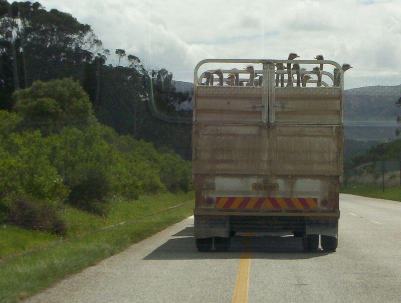 SA truck ostriches