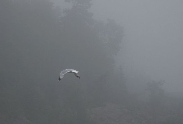 Gull in fog