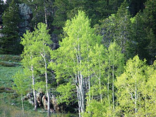 Birches_pines