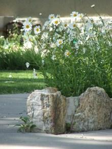 Flowers_daisies