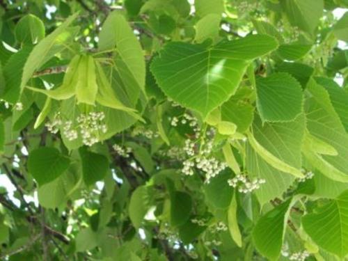 Tree_main_st