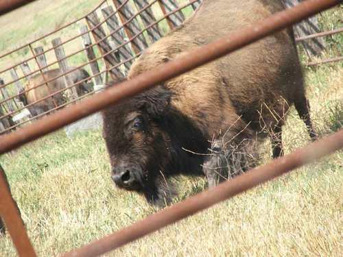 070807_buffalo