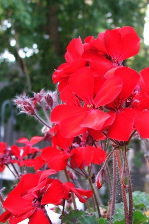 070831_geranium