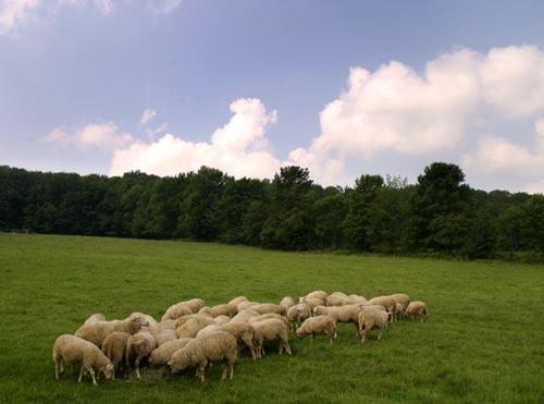 Sheep_grazing2
